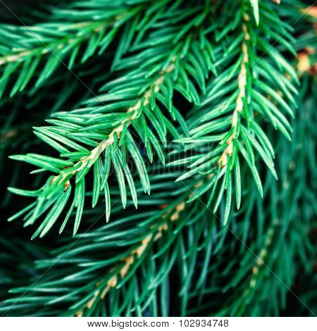 ..fir Tree Branch Background Close Up. Christmas Tree Pine Branches.