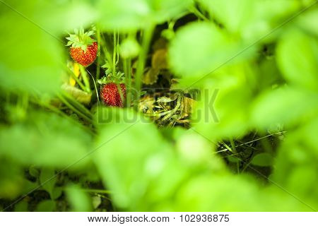 Strawberry in the fruit garden