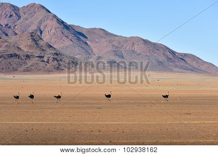 Ostrich And Desert Landscape - Namibrand, Namibia