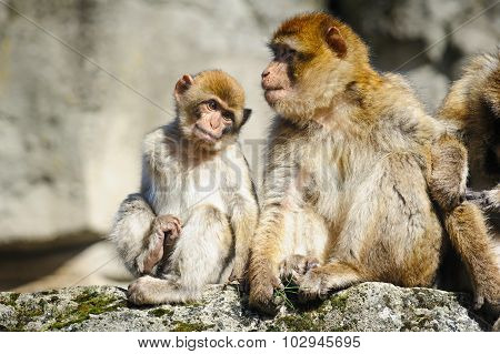 Barbary Macaque, Netherlands