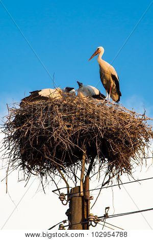 Young white storks at the nest