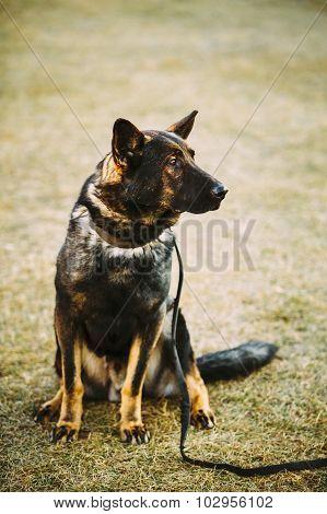 Black German Shepherd Dog Sitting On Ground