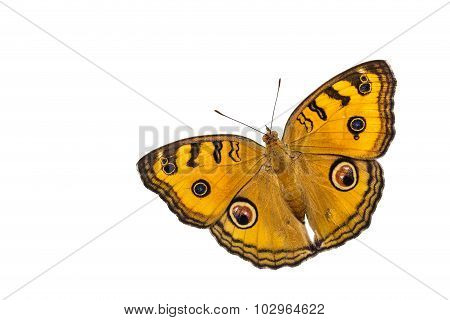 Dorsal View Of Isolated Peacock Pansy Butterfly