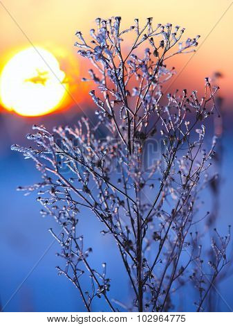 Frozen Plant At Sunset
