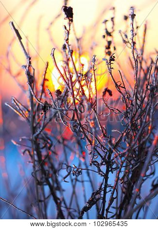 Plants In The Frost At Sunset