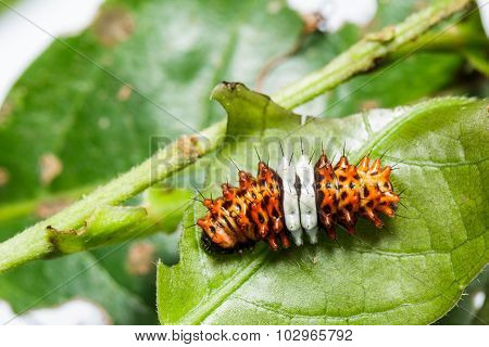 Caterpillar Of Day Flying Moth (histia Flabellicornis)