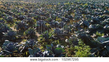 Backlit Picture Of A Large Field With Red Cabbage Plants