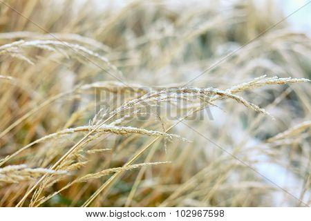 Frozen Dry Grass