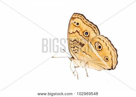 Isolated Peacock Pansy Butterfly