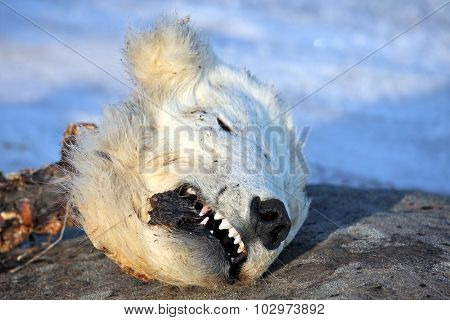 Head of the dead polar bear â?? young bear was killed by adult male bear