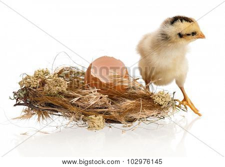 Beautiful little chicken and eggs in nest, isolated on white background