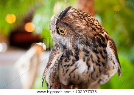 Eagle Owl Looking Sideways