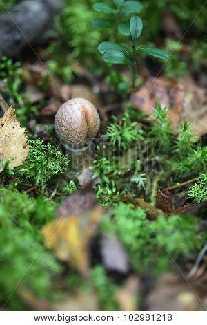 One toadstool closeup similar to a phallus