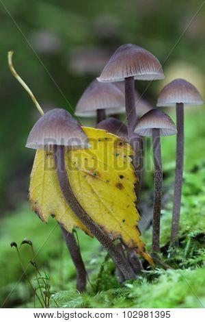 Group of small magic mushroom and a leaf closeup