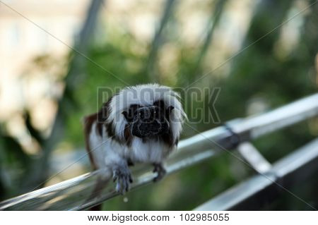 Cottontop tamarins monkey is sitting on a railing