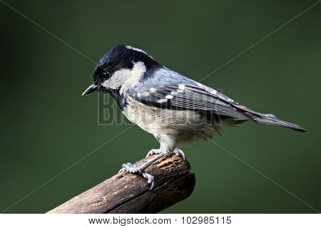 Side View Of Perching Coal Tit Against Blurred Green Background