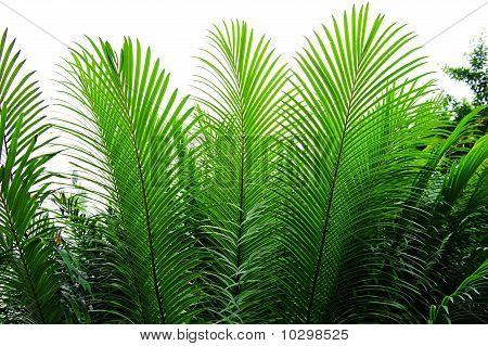 Needle-like Leaves Of Cycas