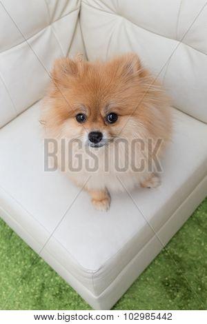 Puppy Pomeranian Dog Cute Pets Sitting On White Sofa Furniture
