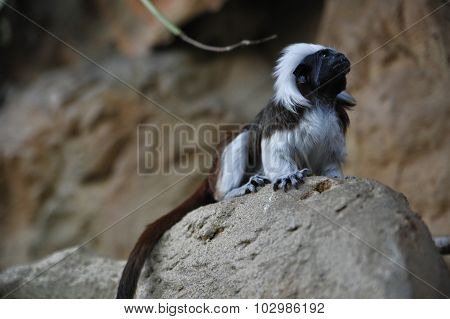 Cottontop tamarins monkey is sitting on a rock