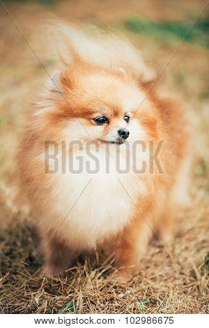 Portrait of Red Pomeranian Spitz  Small Dog