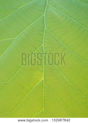 Green Teak Leaves With Beautiful Natural Pattern