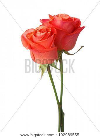 Two orange roses isolated on white