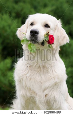 adorable golden retriever dog holding a rose