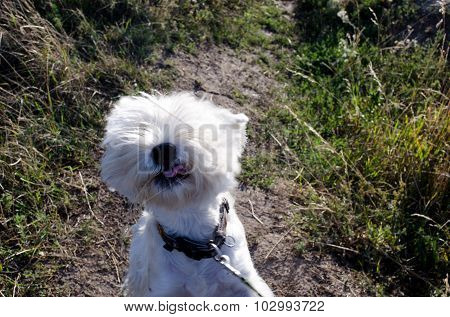 Westie Shows His Tongue When Playing On The Grass