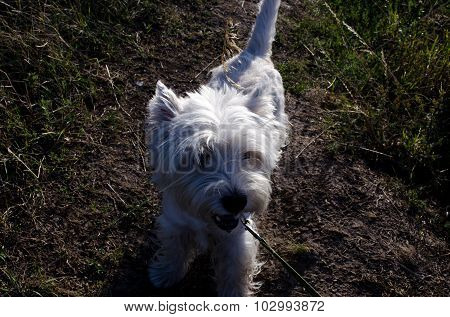 Westie Plays On The Grass