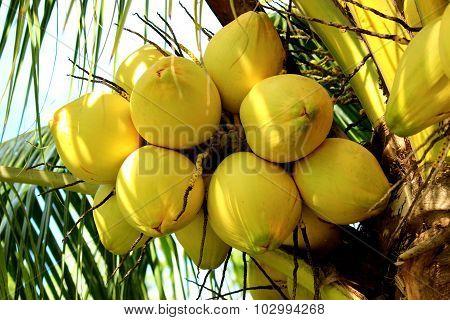 Tender Coconut Bunch