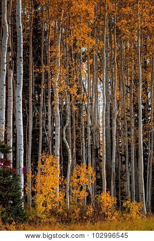 Tall White-bark Aspen Trees with Yellow Leaves