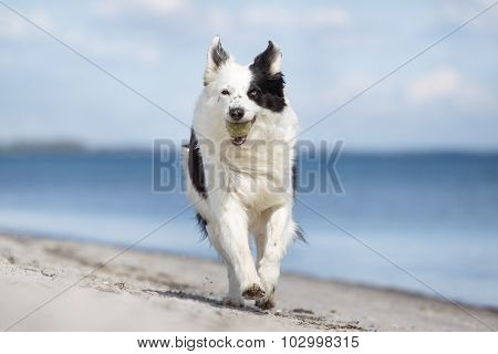 Border Collie Dog Outdoors In Nature