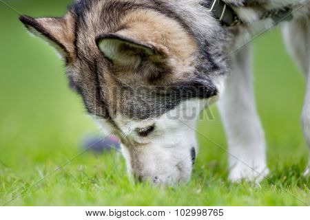 Purebred Alaskan Malamute Dog Outdoors In Nature
