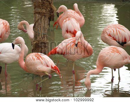 Flamingos (phoenicopteriformes), Zoo Salzburg
