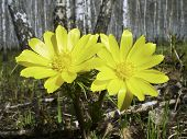 stock photo of adonis  - Flowers of adonis - JPG