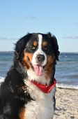 image of cattle dog  - a bernese cattle dog at a beach of the baltic sea in germany - JPG