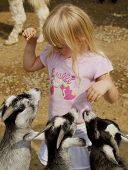 picture of child feeding  - three hungry goats wanting food from a little girl at the petting zoo - JPG