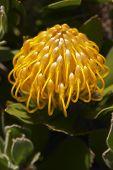 image of fynbos  - Close up of a Protea Leucadendrons  - JPG