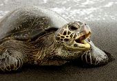 picture of sea-turtles  - sea turtle off the coast of the big island of hawaiii opening his mouth to speak - JPG
