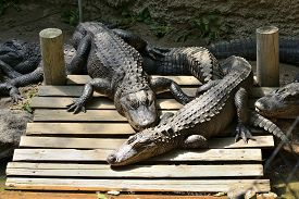 picture of gator  - Group of lazy gators on a dock - JPG
