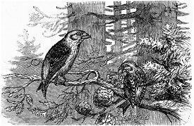 picture of crossbill  - Crossbill pines - JPG