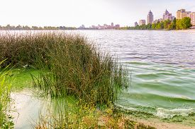pic of green algae  - Traces of pollution and green algae in the Dnieper in Kiev close to a bush of Schoenoplectus reeds - JPG