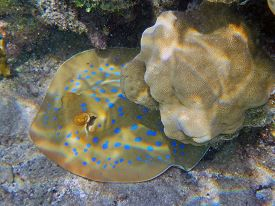 pic of stingray  - A Blue spotted stingray fish in Egypt - JPG