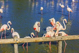 picture of pink flamingos  - Pack of pink charming flamingos in the shallow lake - JPG