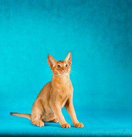picture of sorrel  - sorrel abyssinian cat on dark green background - JPG