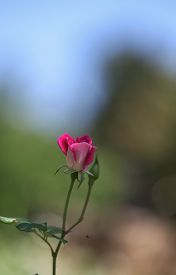 picture of rosa  - Pink rose - JPG