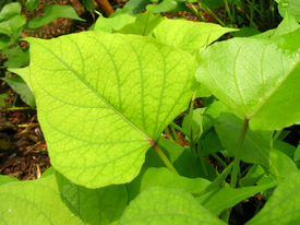 image of potato-field  - closeup of green leaf of sweet potato - JPG
