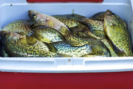 stock photo of crappie  - Cooler containing catch of Black Crappies (Pomoxis nigromaculatus) ** Note: Shallow depth of field - JPG