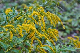 stock photo of goldenrod  - Beautiful yellow goldenrod flowers blooming - JPG