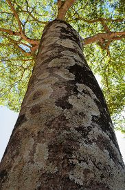 stock photo of canopy  - looking up the trunk of an old tree to the canopy  - JPG